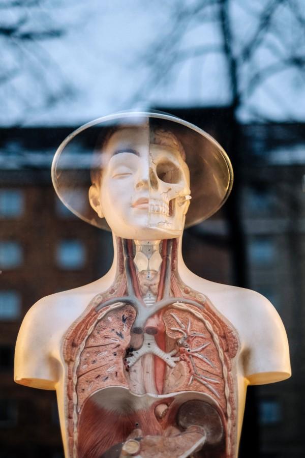 maniqui, moda, cuerpo humano, interior, educacion, medicina, vidriera, esqueleto, organos, ciencia,