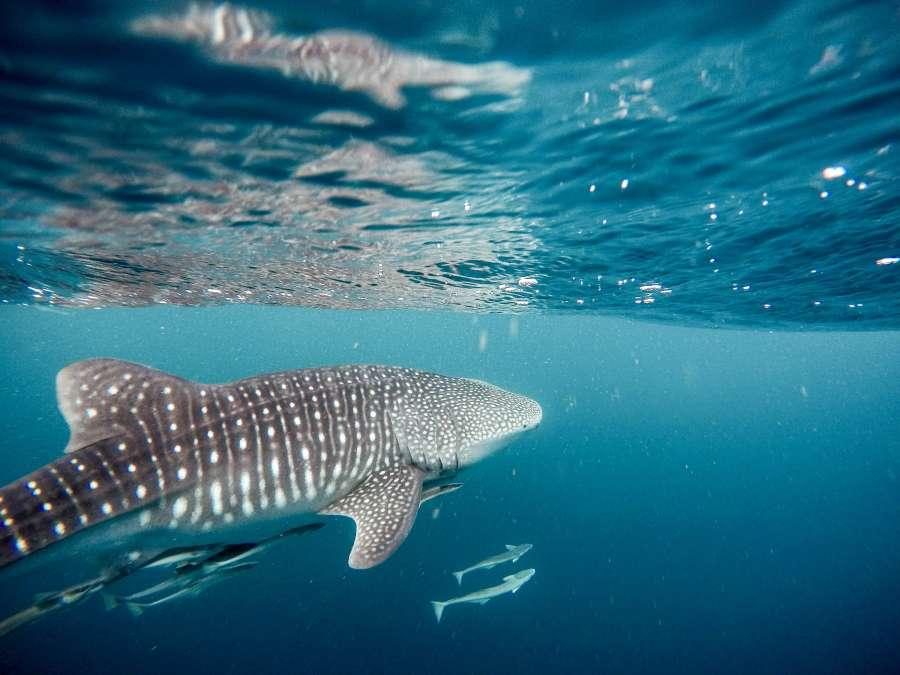 tiburon ballena, mar, caribe, tiburon, exotico, vida marina, fauna, oceano, animal, predador,