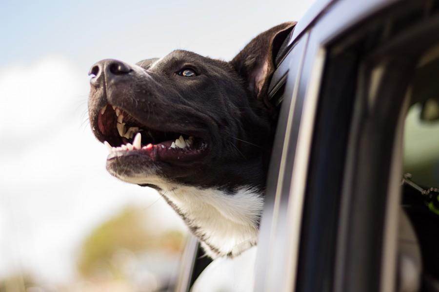 perro, mascota, viento, ventana, auto, coche, viaje, viajar, transporte, alegria,  fondos de pantalla hd, fondos de pantalla 4k