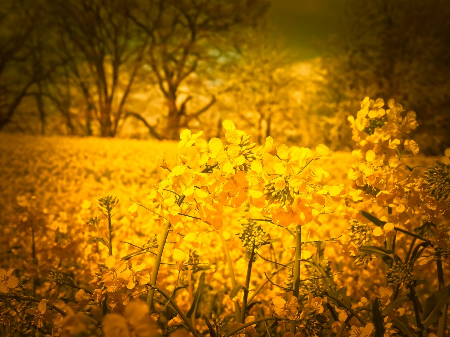 flores, amarillo, primer plano, exterior, primavera, nadie, silvestre, campo,