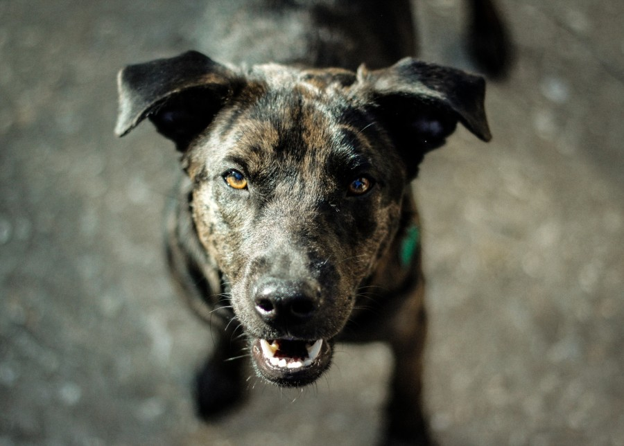 perro, negro, animal, vista de frente, mirando a la camara, mascota,