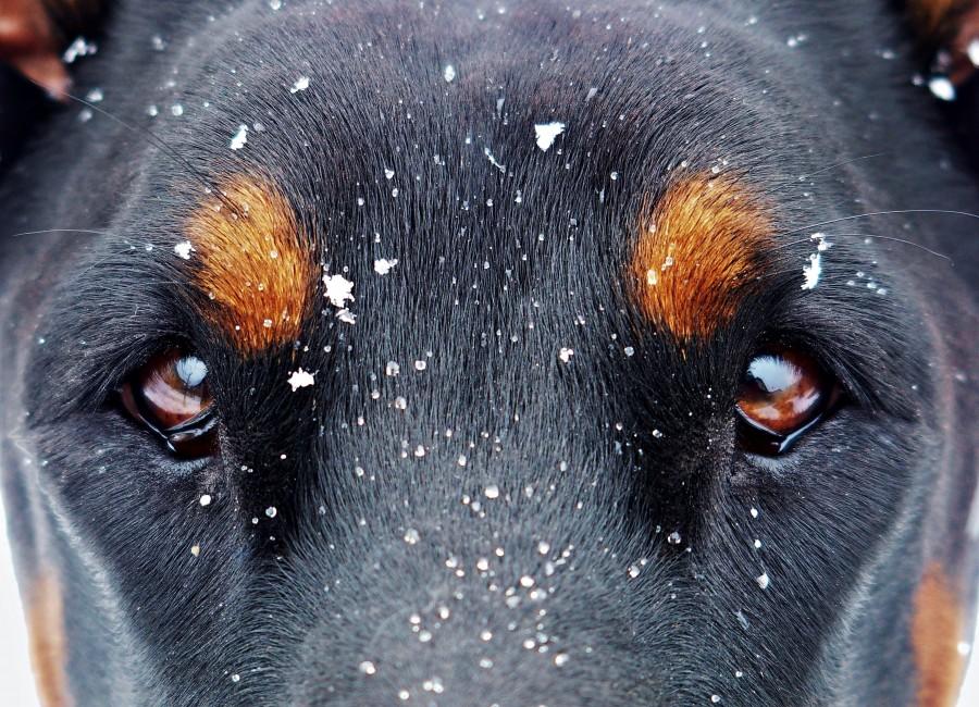 mirada, intensidad, ojos, ojos marrones, negro, marron, penetrante, intenso, nieve, copos de nieve, frio, invierno, Mascota, cachorro, Perro, Animal, Monada, Retrato, Recortable, Alegre, Mirando a la cámara, Foto de estudio, Fondo con color, Amarillo, Boca abierta, Color, Despreocupado, Boca de animal,Un animal, Fotografía, Parte del cuerpo animal, pelaje, melena, pelos, adorable, tierno, dulce, jugueton, amable, amigo, amigo fiel, fidelidad, ternura, animal de compañia, animal domestico, familia, mascotas, animales, razas, pura sangre, mestizos, alegre, simpatico, agradable, mimoso, amoroso, canino, can, sabueso,chucho, tuso, crias, cachorritos, imagenes, imagenes gratis, fotografia, gratis