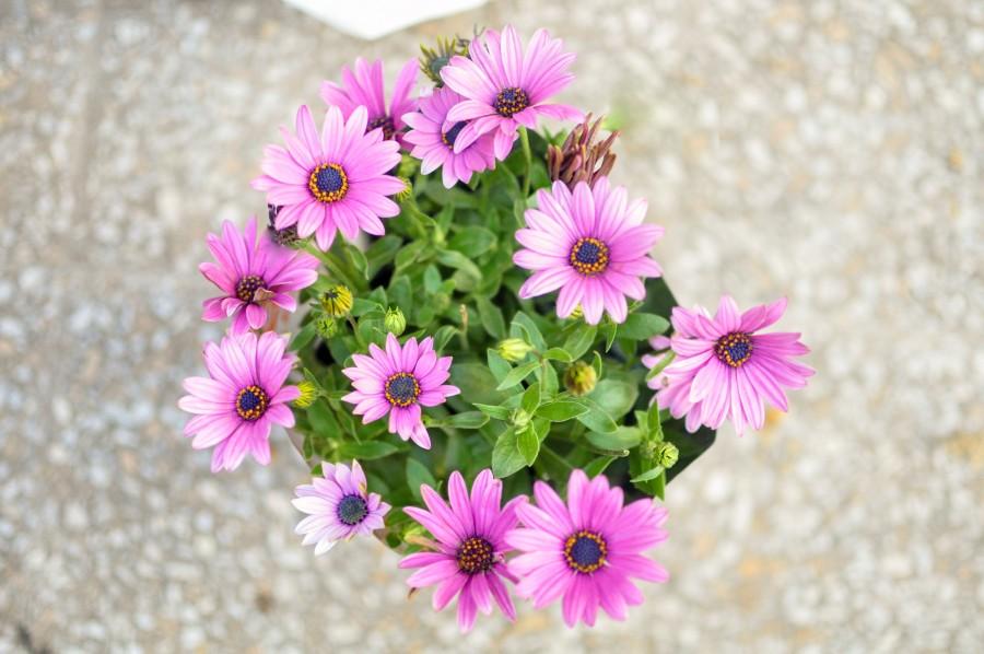 flores, primavera, jardín, planta, tierra, flor, capullo, pimpollo, brote, margarita, lila, naturaleza, verde, hojas, Osteospermum púrpura