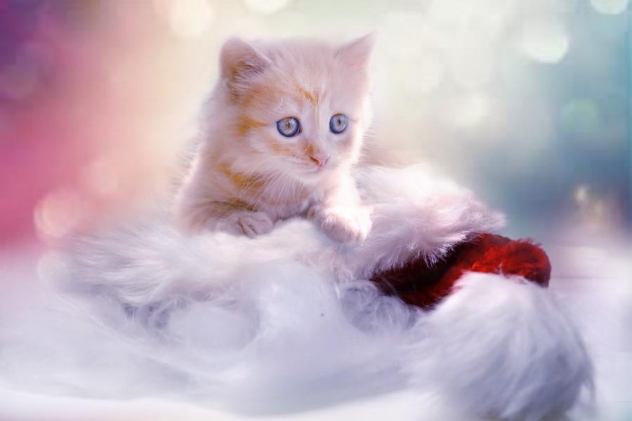 gatito, bebé de gato, animales jóvenes, agresivo, caza, gato, pieles, encantadora, animales, carnívoros, lindo, esponjoso, cabello, bebé, mamífero, pata, mascotas, juguetón, retrato, pura sangre, pequeños, curioso, querido , fotos gratis,  imágenes gratis, Gato doméstico, Cabeza de animal, Retrato, Gato melado, Monada, Gatito, Animal, Fotografía, Mirando a la cámara, Animal doméstico, Animal joven, Color, Día, Horizontal, Interior, Mascota, Nadie, Ojo de Animal, Parte del cuerpo animal, Temas de animales, Un animal, adorable, tierno, mascota, peludo, melena, colores, pelos, rayas, felino, minino, micifuz, michino, madrileño, felido, gatuno, fondos de pantalla hd, fondos de pantalla 4k, resolucion 4k, salvapantalla, fondo bokeh, desenfocado, ternura, amor, tierno, ojos celestes, fondos de pantalla hd, fondos de pantalla 4k, resolucion 4k, salvapantalla