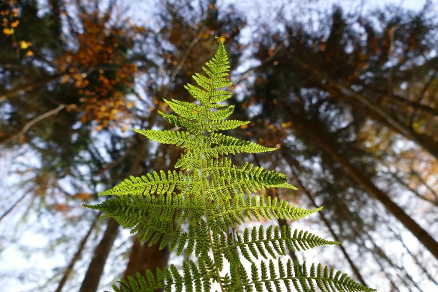 helecho, planta, verde, bosque, crecer, naturaleza, paisaje, detalle,