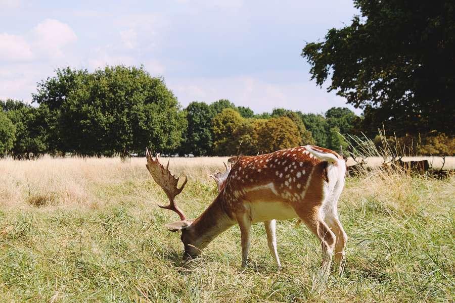 ciervo, animal, exterio, venado, naturaleza, pastando, pastura, cuernos, cornamenta,