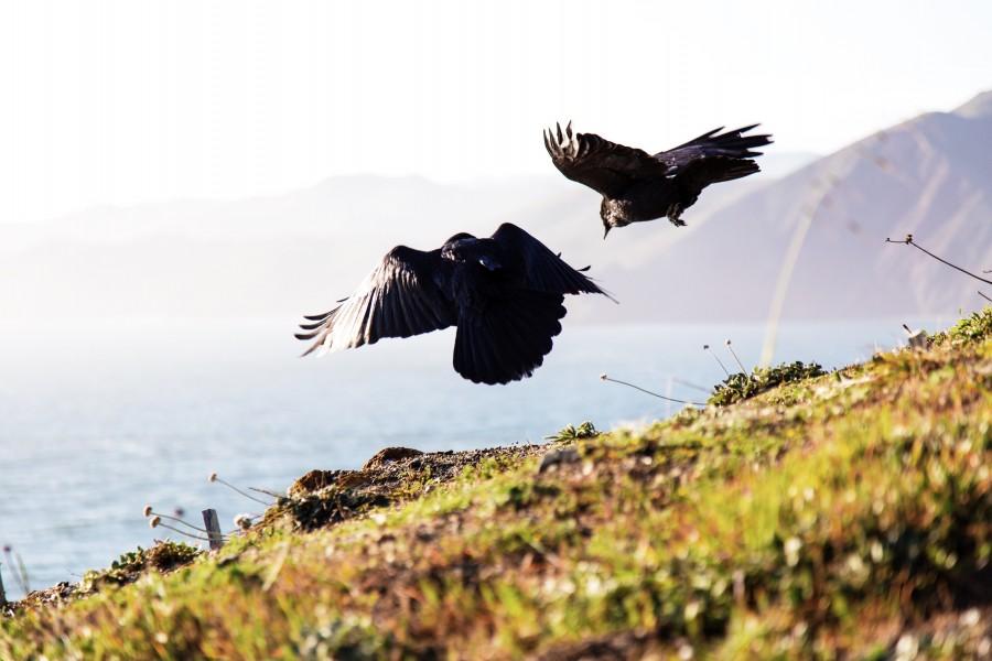 ave, aves, costa, pajaro, pajaros, negro, volando, volar, salvaje, naturaleza