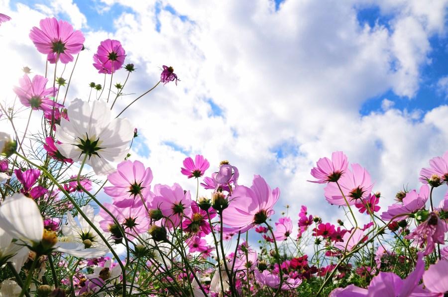 flor, flores, naturaleza, primavera, paisaje, jardin, dia, violeta, vista de frente, cielo, nube,nubes, nadie, fondo, background,