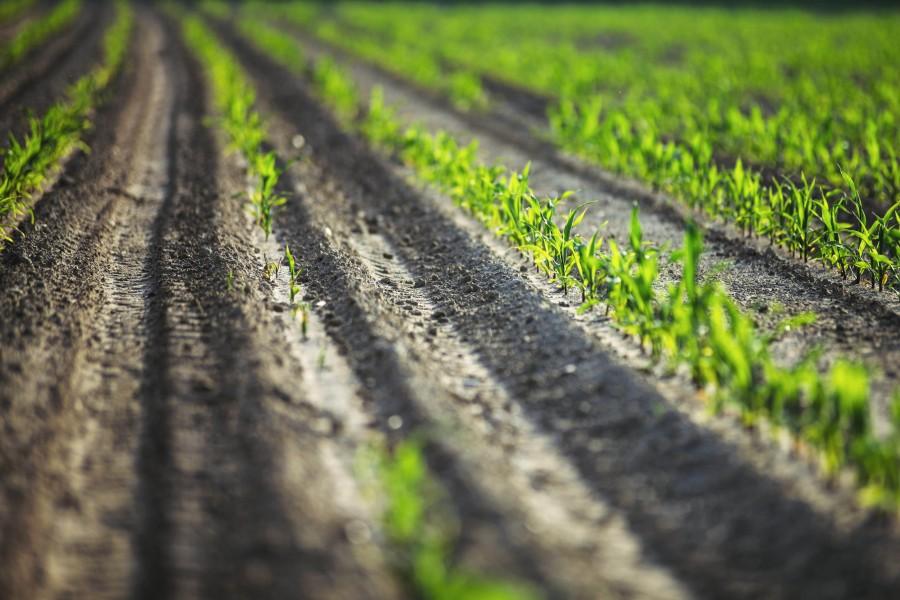 splitshire, maiz, cultivo, plantacion, creciendo, industria, campo, siembra, sembrar, planta,