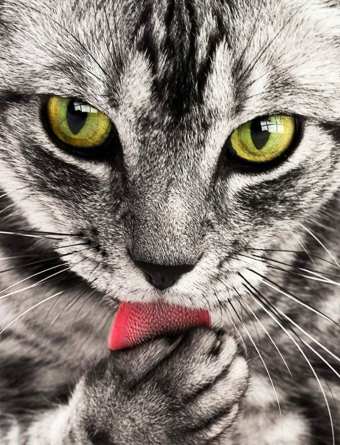 gatito, bebé de gato, animales jóvenes, agresivo, caza, gato, pieles, encantadora, animales, carnívoros, lindo, esponjoso, cabello, bebé, mamífero, pata, mascotas, juguetón, retrato, pura sangre, pequeños, curioso, querido , fotos gratis,  imágenes gratis, Gato doméstico, Cabeza de animal, Retrato, Gato melado, Monada, Gatito, Animal, Fotografía, Mirando a la cámara, Animal doméstico, Animal joven, Color, Día, Horizontal, Interior, Mascota, Nadie, Ojo de Animal, Parte del cuerpo animal, Temas de animales, Un animal, adorable, tierno, mascota, peludo, melena, colores, pelos, rayas, felino, minino, micifuz, michino, madrileño, felido, gatuno, blanco y negro, ojos verdes, lengua, lavandose, fondos de pantalla hd, fondos de pantalla 4k, resolucion 4k, salvapantalla