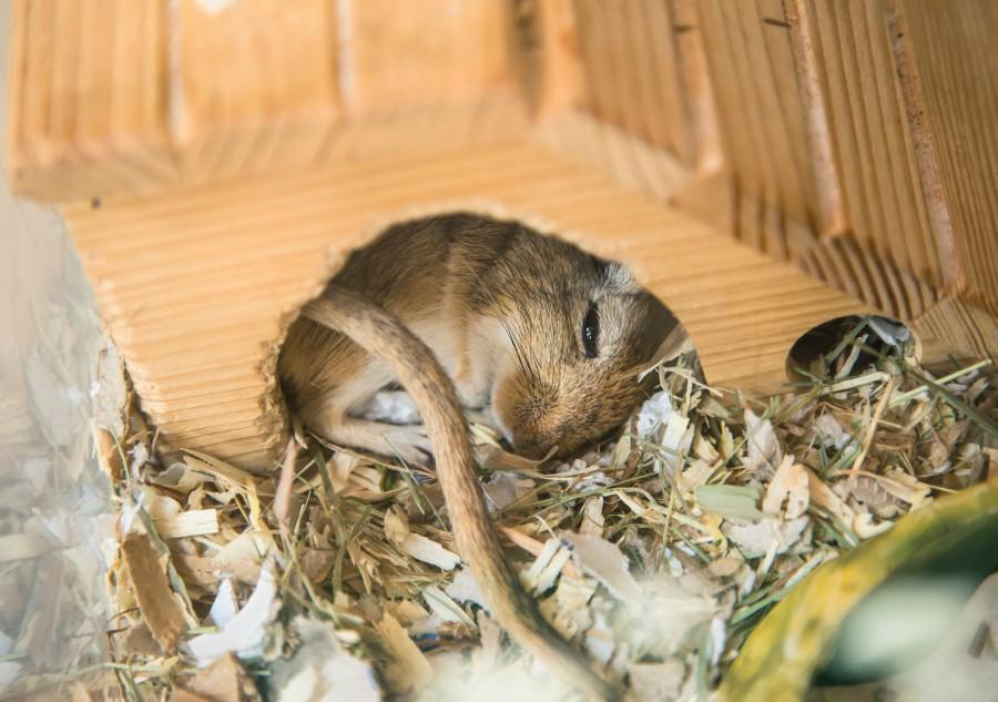 raton, hamster, roedor, casa, dormir, durmiendo, relax, descanso, animal, primer plano, tierno, simpatico,