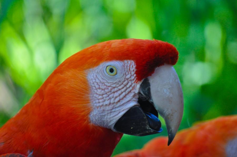 Ara chloropterus, ave, plumas, colorido, fauna, naturaleza, mamífero, animal, tropical, guacamayo rojo, guacamayo aliverde, loros, vida silvestre