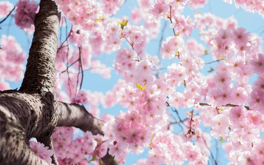 flor, flora, flores, fondos de pantalla hd, naturaleza, árbol , fotos gratis,  imágenes gratis, flor de cerezo, arbol, ramas, tronco, rosa, primavera, natural, belleza, florecer