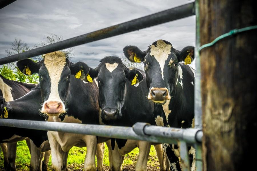 vaca, vacas, escena rural, holando, mancha, blanco, negro, tres, campo, animal, animales, ganado, industria, exterior,