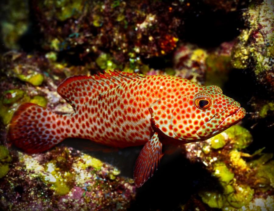 pez, animal, tropical, colorido, rojo, pecera, acuario, marino, fondo, primer plano,