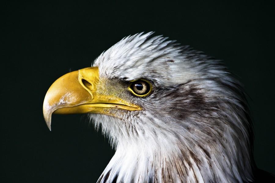 aguila, primer plano, pico, ave, cabeza, vista de frente,