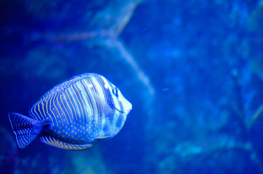 pez, peces, colorido, azul, tornasolado, agua, pecera, acuario, mar argentino,      Peces amazónicos, textura, color vivo, nadando, animal, pez silvestre, especies exóticas