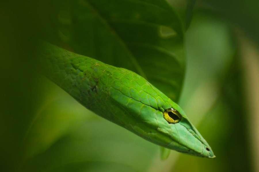 serpiente, verde, animal, reptil, primer plano, exterior, salvaje, cabeza, naturaleza,