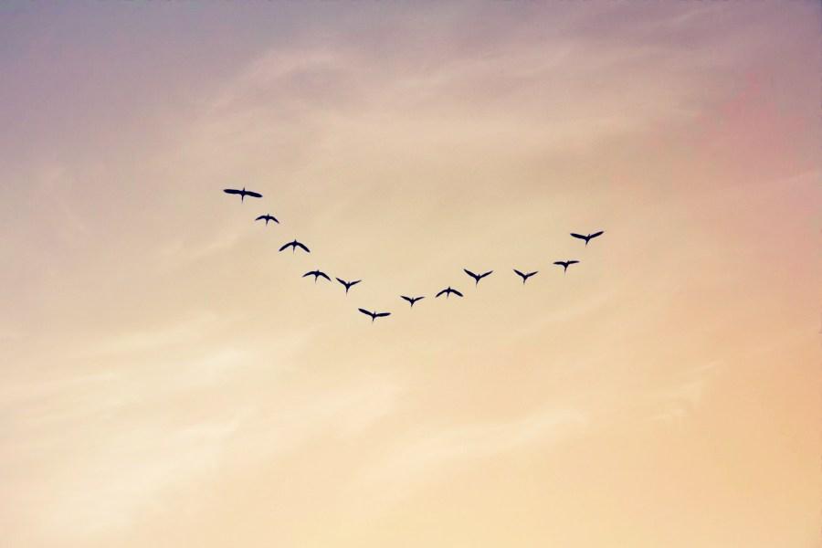 Argentina, La Pampa, atardecer, aves, birds, cielo, clouds, nubes, pajaros, sky, sunset, volar, grupo, varios, mucho, muchos,