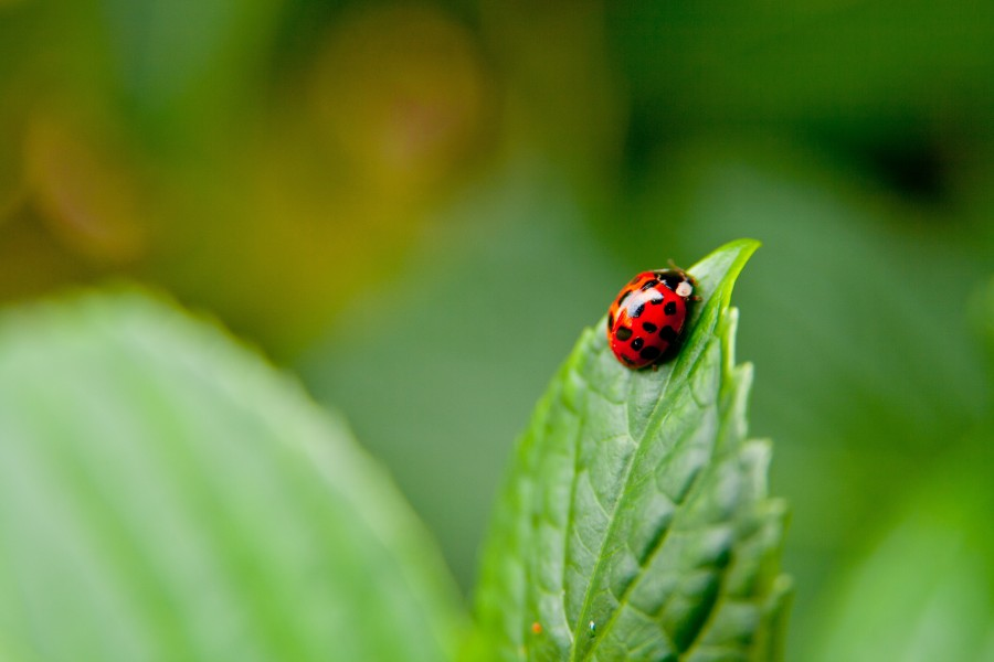 Mariquita, insecto, rojo, naturaleza, primer plano, pequeño, fondos de pantalla hd, fondos de pantalla 4k