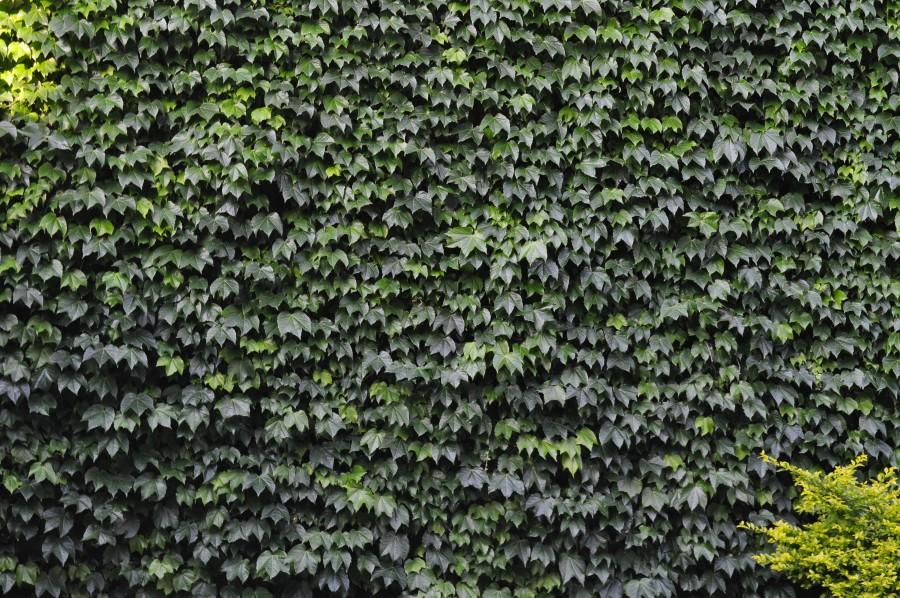 enredadera, fondo, background, verde, planta, vista de frente, naturaleza, pared, arquitectura, nadie,