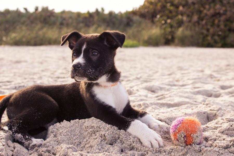 cachorro, perro, animal, playa, pelota, verano, jugar, actividad,
