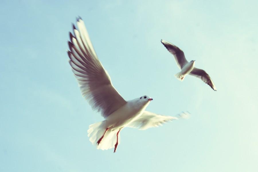 ave, aves, dos, gaviota, blanco, alas, volando, volar, cielo, fauna,