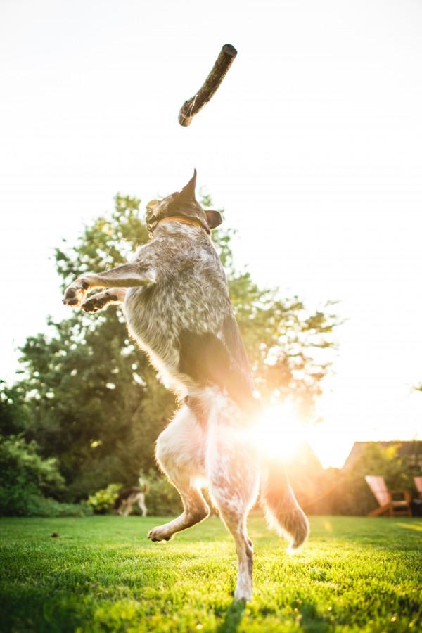 perro, animal, mascota, jardin, saltando, saltar, salto, diversion, alegria, madera, atrapar, vitalidad,