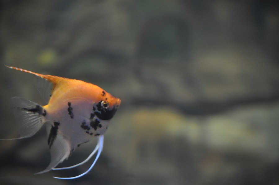 pequeño, pez, peces, acuario, pecera, mar, especies exóticas, colores vividos, manchas, nadando, bajo el agua