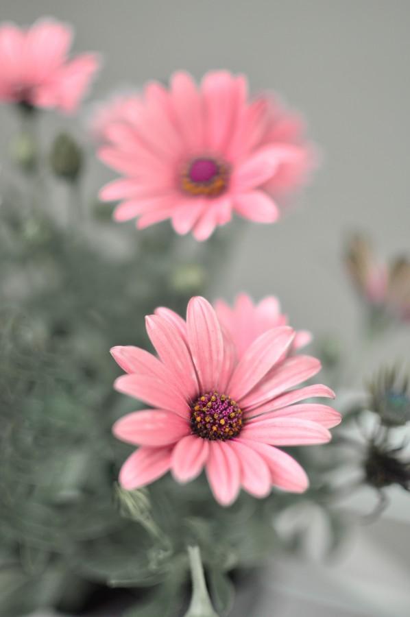 flores, primavera, jardín, planta, tierra, flor, capullo, pimpollo, brote, margarita, lila, naturaleza, verde, hojas