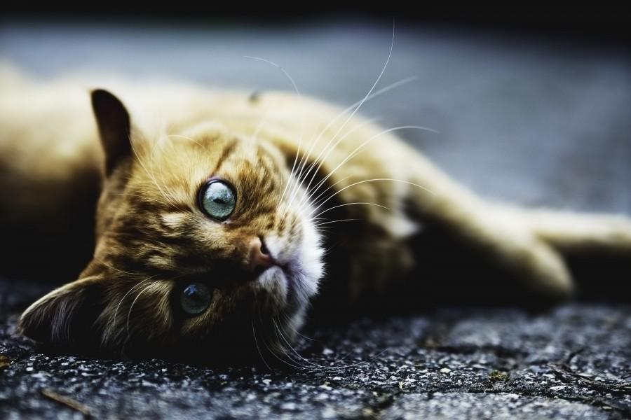 gatito, bebé de gato, animales jóvenes, agresivo, caza, gato, pieles, encantadora, animales, carnívoros, lindo, esponjoso, cabello, bebé, mamífero, pata, mascotas, juguetón, retrato, pura sangre, pequeños, curioso, querido , fotos gratis,  imágenes gratis, Gato doméstico, Cabeza de animal, Retrato, Gato melado, Monada, Gatito, Animal, Fotografía, Mirando a la cámara, Animal doméstico, Animal joven, Color, Día, Horizontal, Interior, Mascota, Nadie, Ojo de Animal, Parte del cuerpo animal, Temas de animales, Un animal, adorable, tierno, mascota, peludo, melena, colores, pelos, rayas, felino, minino, micifuz, michino, madrileño, felido, gatuno
