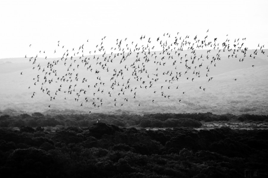 Bandada de pajaros, pajaros, animales, naturaleza, blanco y negro, migracion, migrar, aves,