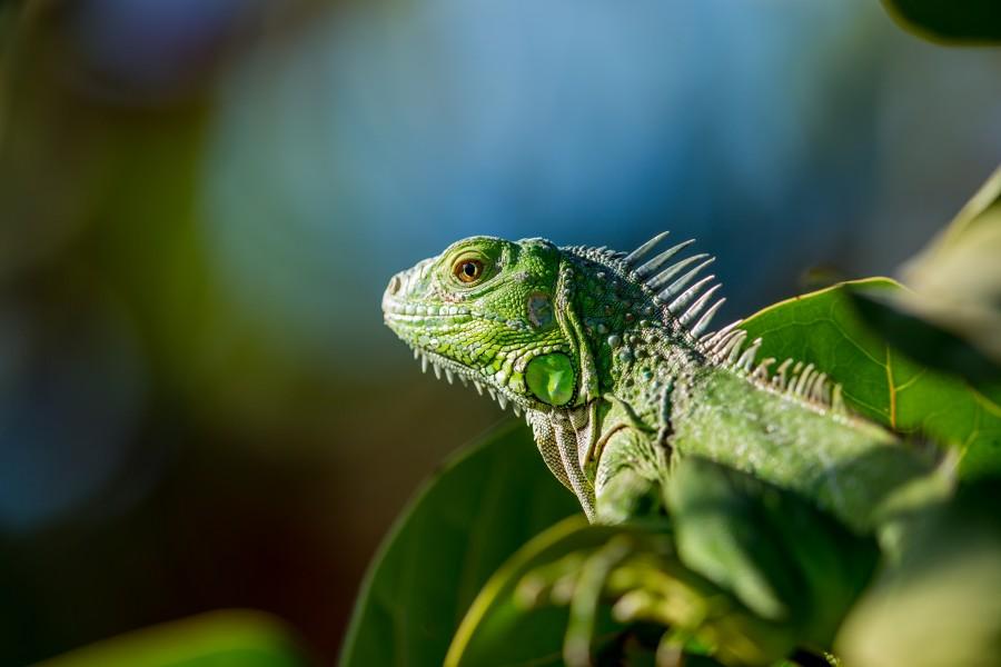 iguana, tomando sol, animal, reptil, primer plano, vida salvaje, verde, naturaleza,  fondos de pantalla hd, fondos de pantalla 4k