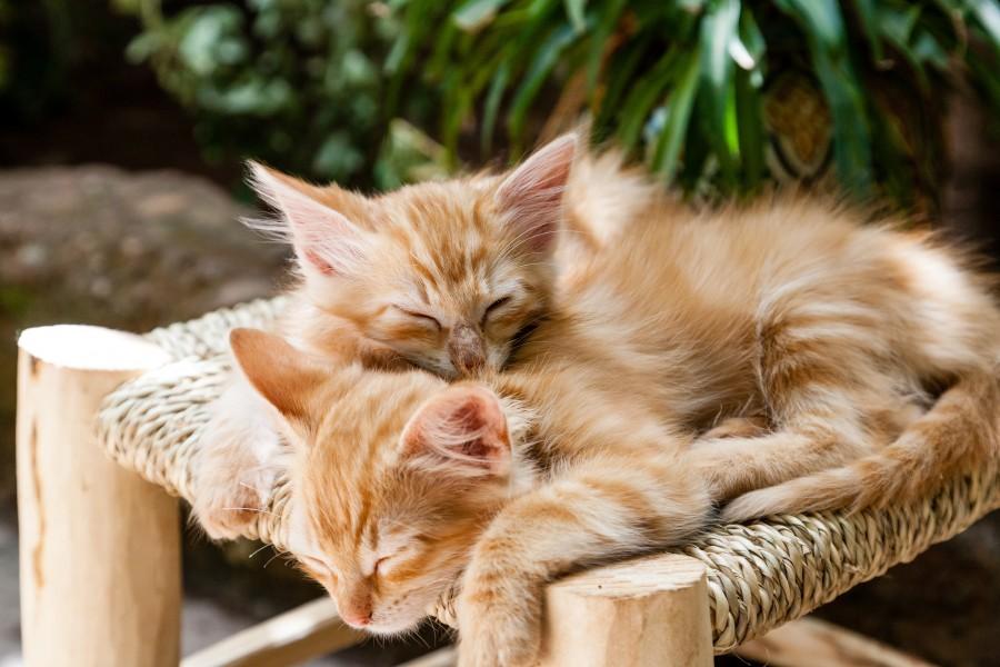 pareja de gatos, abrazo gatuno, dorados, gatos dorados, pequeños gatos, gatitos, bebes, cariñosos, gatito, bebé de gato, animales jóvenes, agresivo, caza, gato, pieles, encantadora, animales, carnívoros, lindo, esponjoso, cabello, bebé, mamífero, pata, mascotas, juguetón, retrato, pura sangre, pequeños, curioso, querido , fotos gratis,  imágenes gratis, Gato doméstico, Cabeza de animal, Retrato, Gato melado, Monada, Gatito, Animal, Fotografía, Mirando a la cámara, Animal doméstico, Animal joven, Color, Día, Horizontal, Interior, Mascota, Nadie, Ojo de Animal, Parte del cuerpo animal, Temas de animales, Un animal, adorable, tierno, mascota, peludo, melena, colores, pelos, rayas, felino, minino, micifuz, michino, madrileño, felido, gatuno