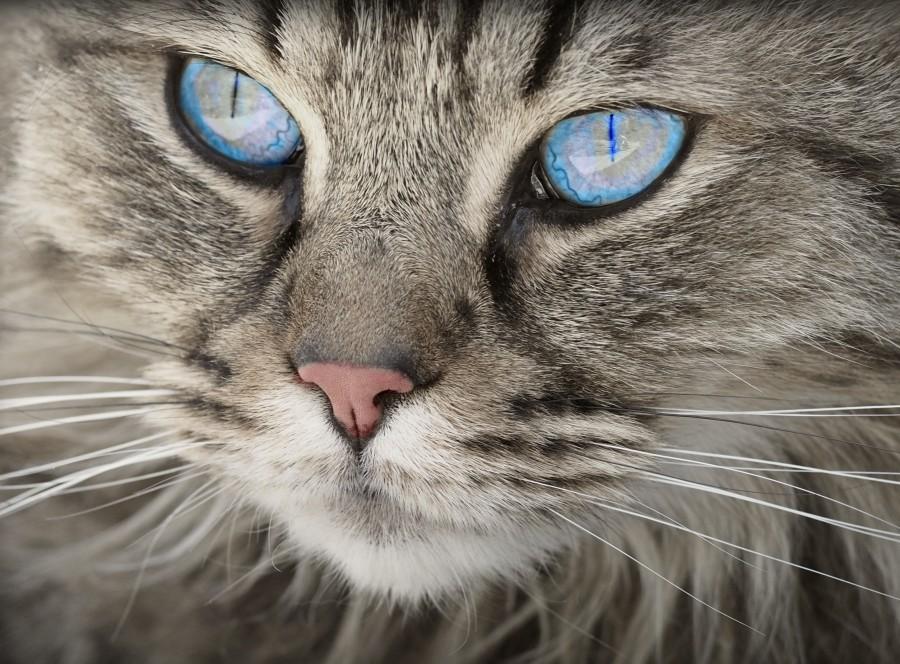 gatito, bebé de gato, animales jóvenes, agresivo, caza, gato, pieles, encantadora, animales, carnívoros, lindo, esponjoso, cabello, bebé, mamífero, pata, mascotas, juguetón, retrato, pura sangre, pequeños, curioso, querido , fotos gratis,  imágenes gratis, Gato doméstico, Cabeza de animal, Retrato, Gato melado, Monada, Gatito, Animal, Fotografía, Mirando a la cámara, Animal doméstico, Animal joven, Color, Día, Horizontal, Interior, Mascota, Nadie, Ojo de Animal, Parte del cuerpo animal, Temas de animales, Un animal, adorable, tierno, mascota, peludo, melena, colores, pelos, rayas, felino, minino, micifuz, michino, madrileño, felido, gatuno, fondo de pantalla HD, fondo de pantalla 4k, resolucion 4k, salvapantallas