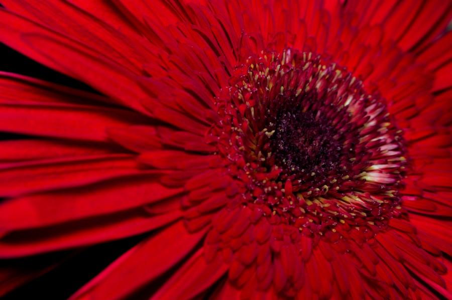 hermosa, flor, flora, flores, fondos de pantalla hd, hojas, naturaleza, belleza, natural, hojas, primavera, pimpollo, pétalos, degradé de color, florecer, Gerbera