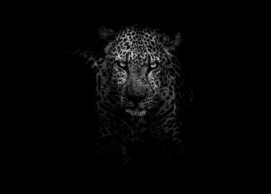 Fondo De Pantalla De Leopardo Fondos De Pantalla Gratis: Imagen De Leopardo Blanco Y Negro Fondo De Pantalla Hd