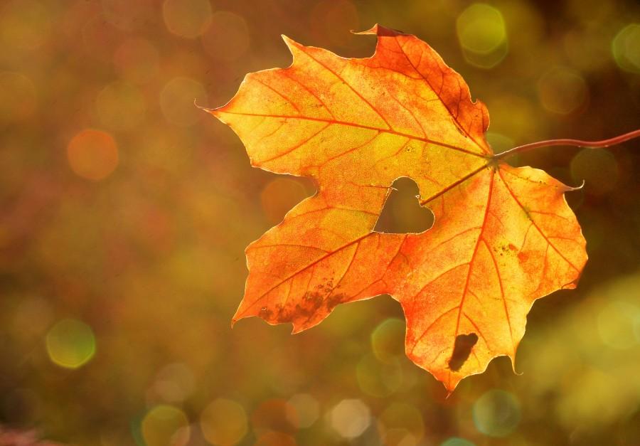 corazón, cariño, hoja, el otoño, arce, bokeh, la naturaleza , hoja seca, forma, símbolo, fondo de pantalla hd, tono sepia, clima, estación