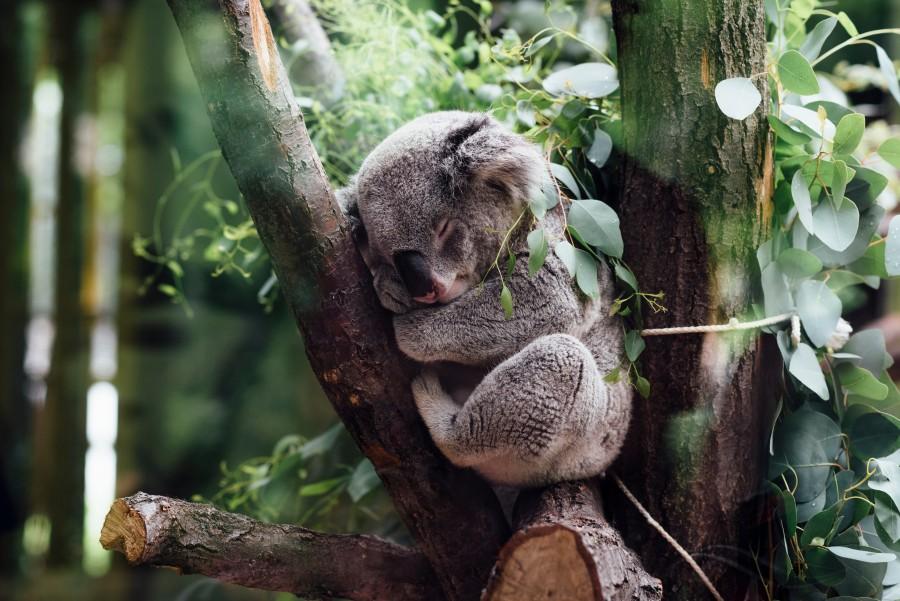 koala, animal, durmiendo, dormir, relax, tranquilo, selva, bosque,