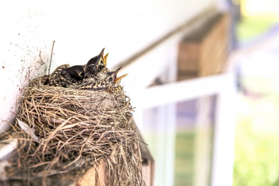 nido, paja, pajaros, bebes, pichon,pichones, casa, ave, aves, tres, hambre, pequeño, naturaleza,