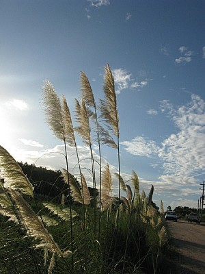 imágenes gratis planta,plantas,verano,primavera,plumerillo,vista d