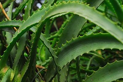 imágenes gratis planta,naturaleza,vista de frente,aloe vera,curaci