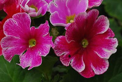 imágenes gratis flor,flores,naturaleza,vista de frente,lila,color,