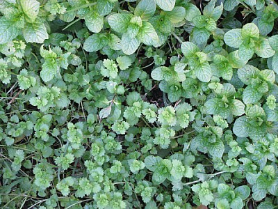 imágenes gratis hoja,hojas,vista de frente,verde,color,primer plan