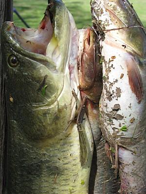 pez,peces,pescados,tararira,tarucha,pesca,deporte,