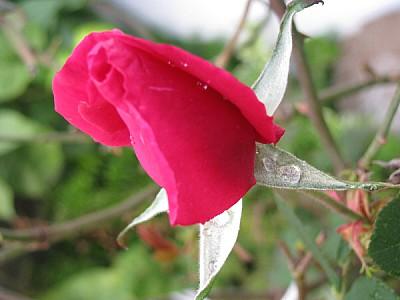 imágenes gratis flor,flores,naturaleza,vista de frente,color,rosa,