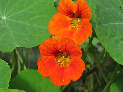 imágenes gratis flor,flores,naturaleza,vista de frente,color,naran