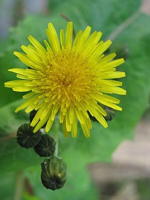 imágenes gratis flor,flores,naturaleza,vista de frente,color,amari