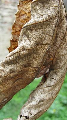 imágenes gratis hoja,hojas,vista de frente,seco,seca,secos,secas,o