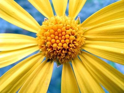 flor,flores,naturaleza,margarita,vista de frente,p